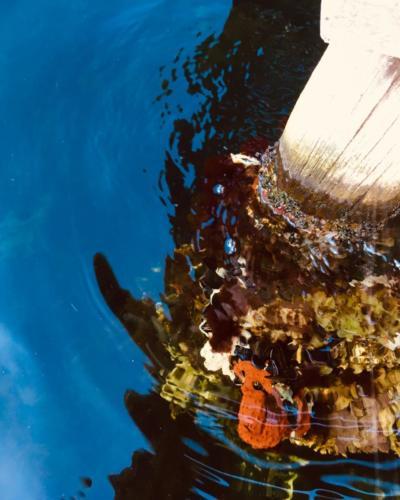 Oranje zeeanemoon onder water